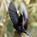 Male Victoria's Riflebird Display (On Explore 21/4/2013) by aussiegypsy_top end Northern Territory