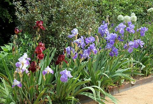 Iris - floraisons 2011 - Page 2 8667784242_b165368b91