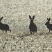 The Dark side.Brown Hares. by trickydicky1964