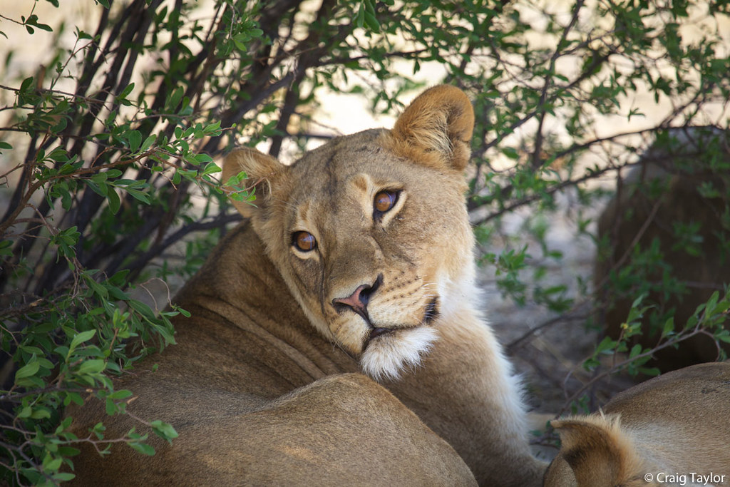 A beautiful lioness resting in the shade in Zimbabwe