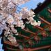 Seoul Cherry Blossoms by stuckinseoul