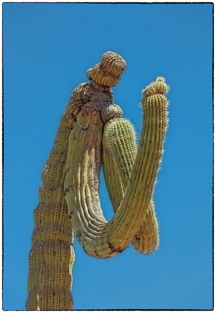 Saguaro Cactus - Saguaro National Park