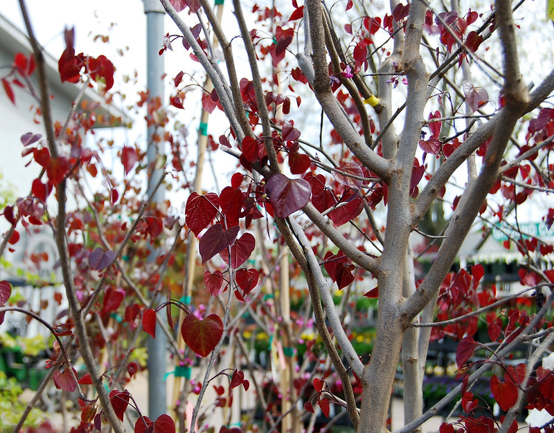 REDBUD BURGUNDY HEARTS