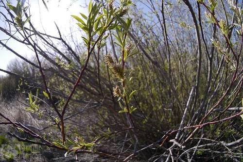 washington willow salix salicaceae klickitatcounty salixgeyeriana geyerwillow geyerswillow