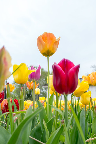 Burnside Tulip Farm 2013-7016.jpg