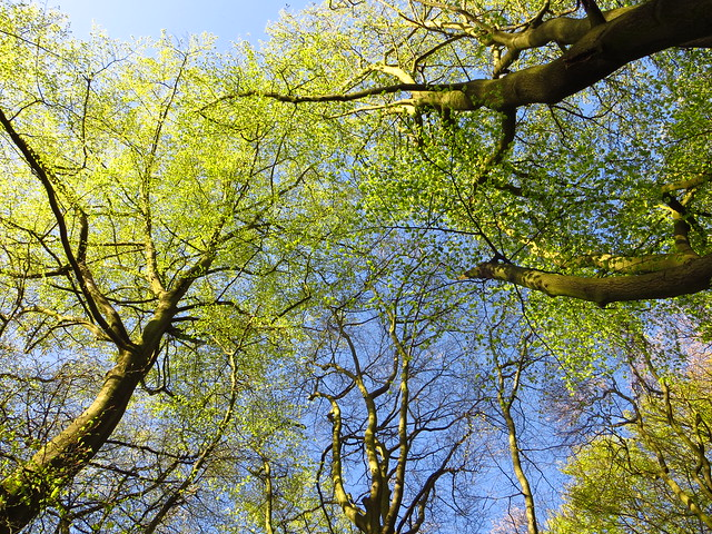 The Beech Grove