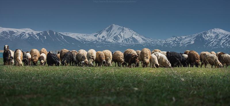 8699233946_3a18f2476f_c 25 magnifiques photos de moutons