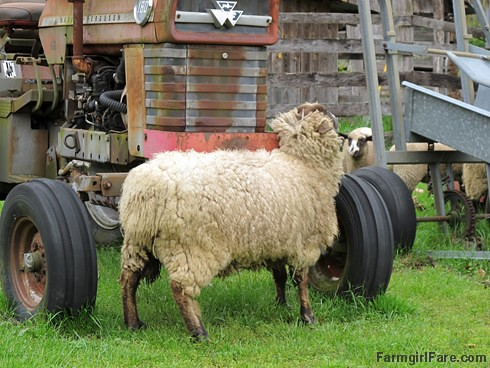 Sheep heading out to eat breakfast (8) - Big Teddy stops to scratch an itch on the old tractor - FarmgirlFare.com
