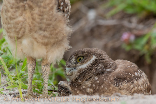 Baby Burrowing Owl Checking out its Sibling's Bottom