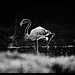 greator flamingo by amish_patel