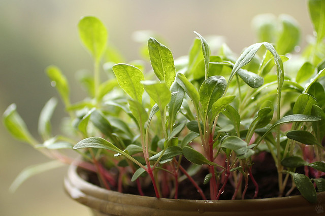 Мангольд, рассада –  Swiss chard, Mangold (Beta vulgaris var. cicla), seedligs