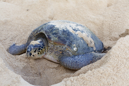 A green turtle laying eggs.