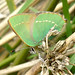Green hairstreak by topaztree