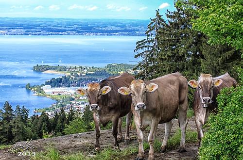 lake schweiz switzerland see kuh cow cows suisse swiss che svizzera bodensee constance ch krava kühe sanktgallen lakeconstance krave svizra 2013 dalmatino fünfländerblick unterbilchen grubsg