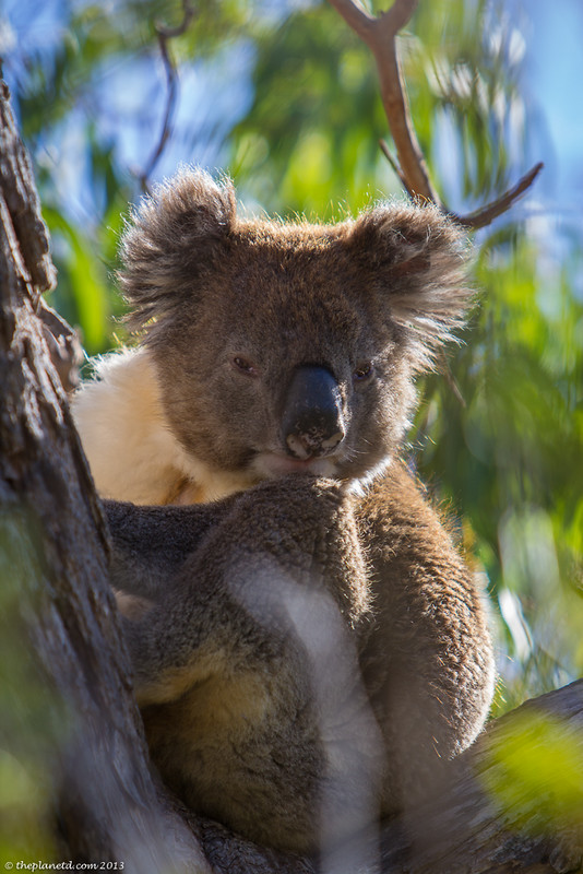 koala essay citing sources in essay mla citing essay mla citation essay mla citing sources in essay mla citing essay mla citation essay mla