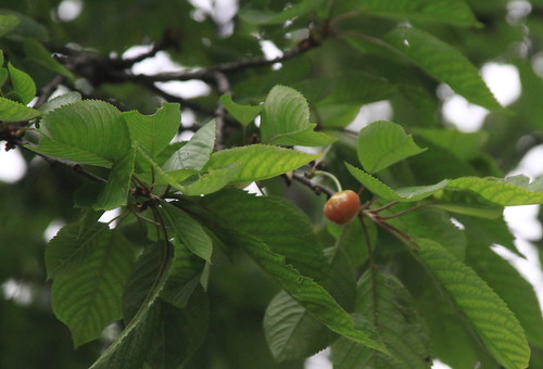 Cherry Blush