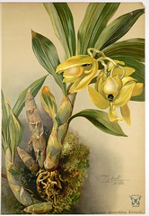 The Green-Lipped Cycnoches (1906). Fragrant flowers smell like banana popsicles.