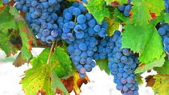 Cyprus_paphos_mataro_grapes