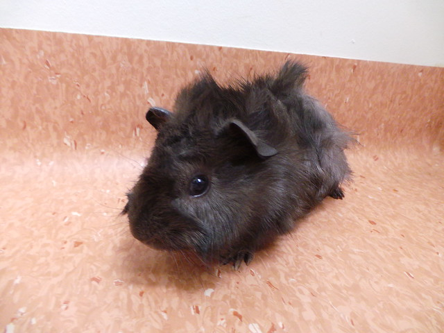 Guinea pig - Wikipedia
