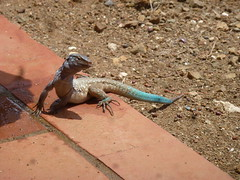 Bonaire whiptail lizard  (Cnemidophorus murinus Ruthveni)