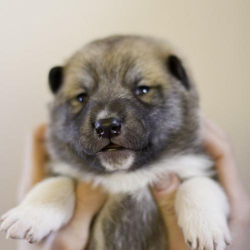 Ike-Kilbe-Pup4-Male(Day 13)-21