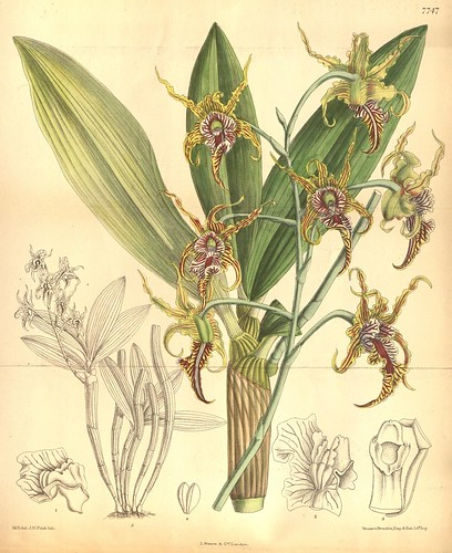 Image from Curtis's botanical magazine.. London ;New York [etc.] :Academic Press [etc.]. biodiversitylibrary.org/page/450786.