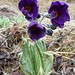 Brussel sprout primula <i>(Primula caulderana)</i> at Rodong La (Alison Evans)