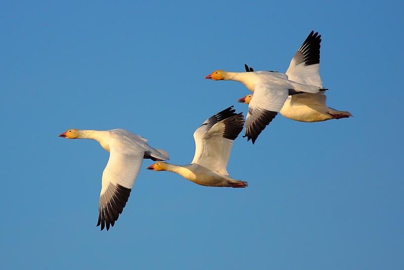 IMG_5296 Snow Geese, Sacramento National Wildlife Refuge