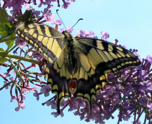swallowtail2003