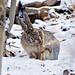 Woolly Hare, Ladakh (Russell Scott)