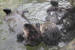 grizzly bear(0.0), brown bear(0.0), animal(1.0), mammal(1.0), fauna(1.0), sea otter(1.0), wildlife(1.0),