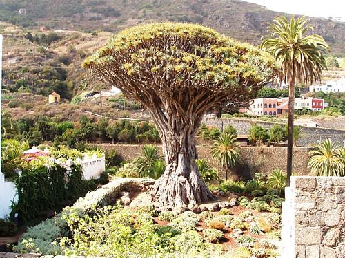 Millenium Drago Tree
