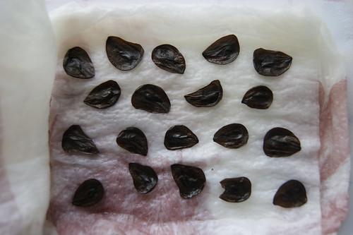 Amaryllis-Samen in der Anzuchtschale