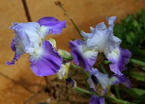 Iris - floraisons 2011 - Page 2 8666681887_6d025a1170