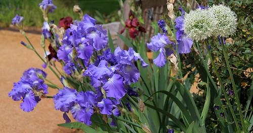 Iris - floraisons 2011 - Page 2 8667783038_32a528ecea