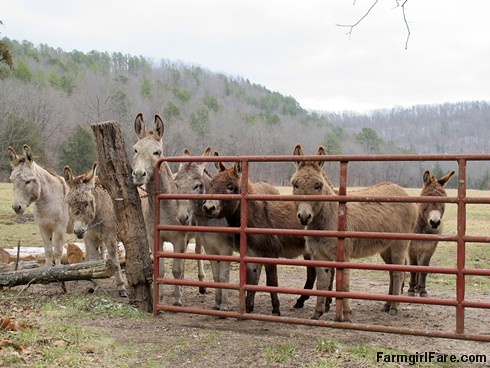 Greeters at the entrance to Donkeyland - FarmgirlFare.com