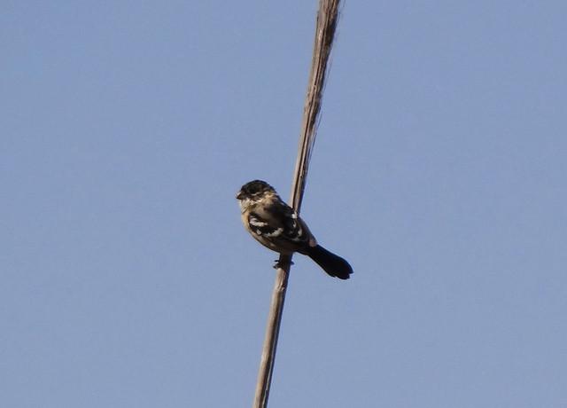 Morelet White-collared Seedeater