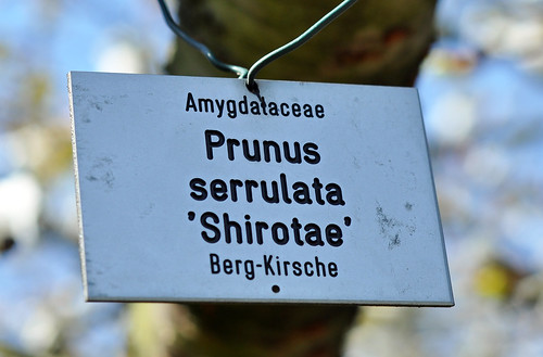 Bergkirsche Prunus serrulata im Botanischen Garten Düsseldorf