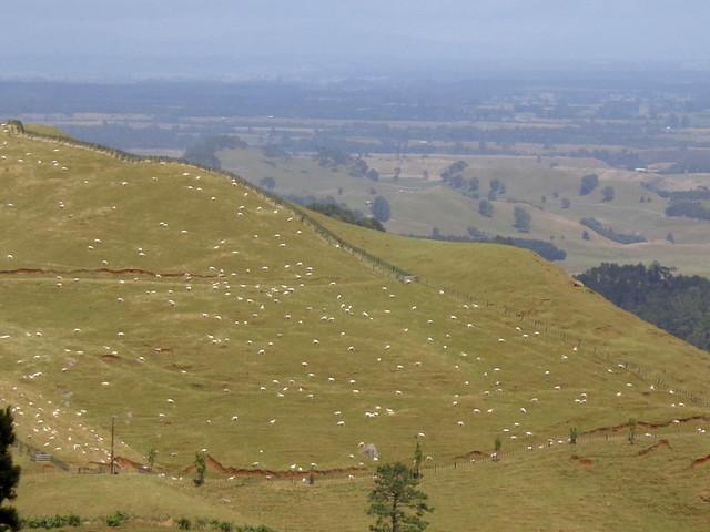 lotsa-sheep