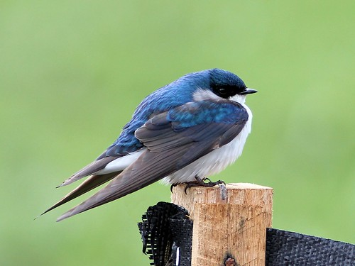 Tree Swallow 2-20130425
