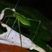 Small photo of Katydid Nymph (Tettigoniidae)