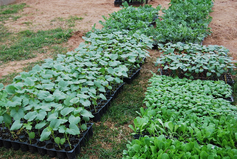 Summer Plants Ready for the Field (Okra, Watermelon)