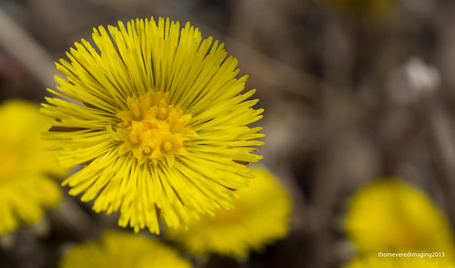 Coltsfoot by thomevered