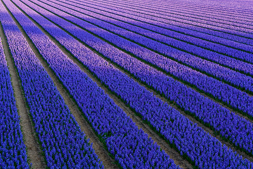 Shadows on the hyacinth fields