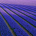 Shadows on the hyacinth fields by Frans.Sellies