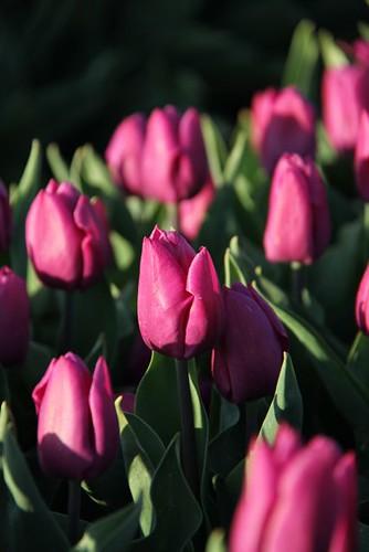 Tulpen_goeree_overflakkee