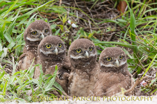 birds us unitedstates florida miami wildlife owls burrowingowl browardcounty burrowingowls coopercity naturephotographer floridaphotographer michaelpancierphotography brianpiccolopark avianphotography landscapephotographer commercialphotographer fineartphotographer michaelapancier