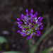 Small photo of Allium (allegedly)