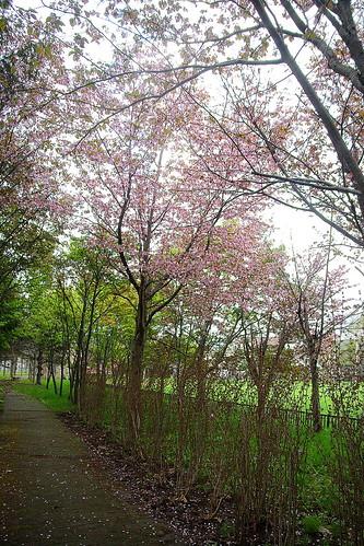 13.5.21.桜1