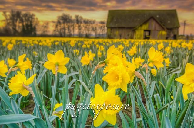Daffodil and Barn